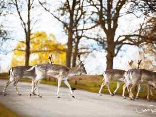 奈良鹿—正在穿马路的麋鹿桌面壁纸