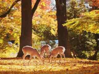 奈良鹿—林中的那一群小鹿桌面壁纸