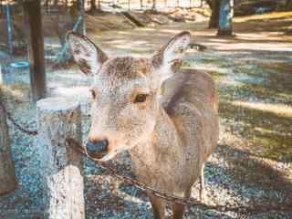 奈良鹿—可爱的小鹿向你走来桌面壁纸