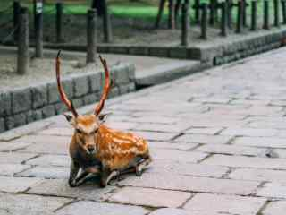 奈良鹿—在原地休息的小鹿桌面壁纸