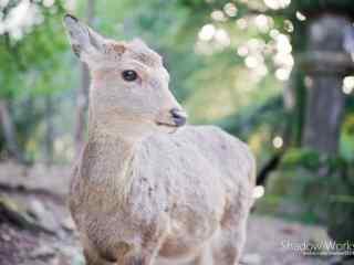 奈良鹿—可爱的小鹿的模样桌面壁纸