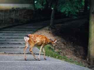 奈良鹿—在马路边的小鹿桌面壁纸