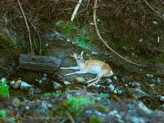 奈良鹿—溪水旁的小麋鹿桌面壁纸
