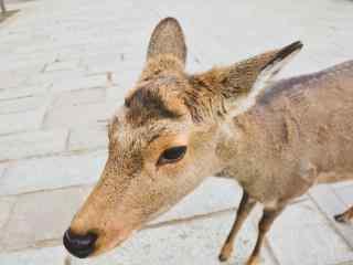 奈良鹿—呆萌可爱的麋鹿桌面壁纸
