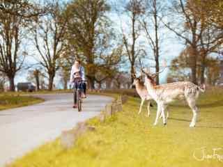 奈良鹿—路边可爱的麋鹿桌面壁纸