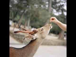 奈良鹿—正在吃食的小鹿桌面壁纸