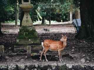 奈良鹿—可爱的小麋鹿桌面壁纸