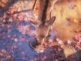 奈良鹿—正在喝水的小鹿桌面壁纸