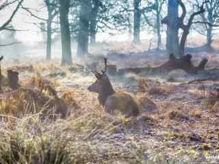 奈良鹿—在草地上休息的小鹿桌面壁纸