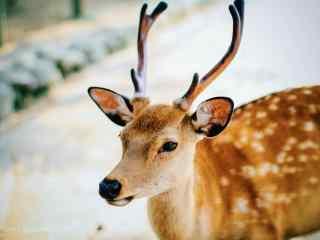 奈良鹿—唯美小鹿照片桌面壁纸