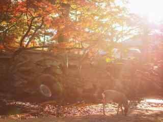 奈良鹿—阳光下的小鹿桌面壁纸