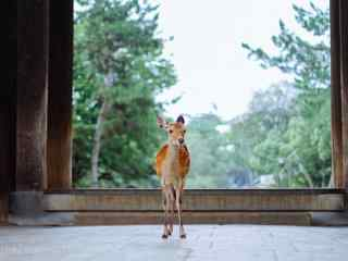 奈良鹿—大门前的小鹿仔桌面壁纸