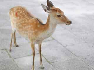 奈良鹿—可爱呆萌的麋鹿桌面壁纸