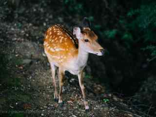 奈良鹿—可爱的小鹿仔桌面壁纸