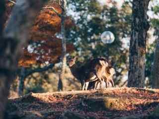 奈良鹿—树林中可爱的小鹿桌面壁纸