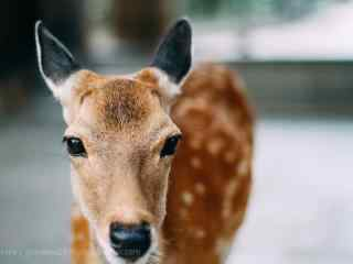 奈良鹿—可爱呆萌的小鹿桌面壁纸