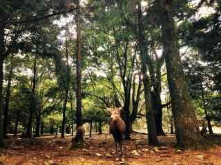 奈良鹿—林中可爱的小鹿们桌面壁纸