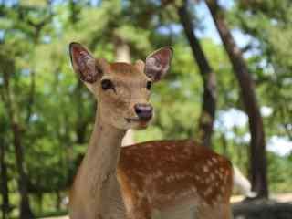 奈良鹿—小鹿可爱的笑容桌面壁纸