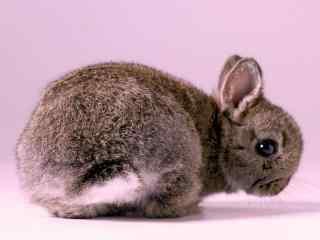 可爱的小灰兔桌面