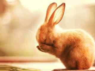 呆萌害羞的小兔子