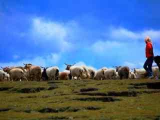 青青草原上的羊群桌面壁纸