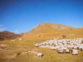 秋日草原上的羊群桌面壁纸