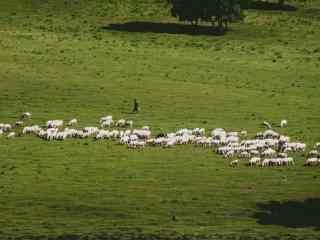 清新绿色草原上的羊群桌面壁纸