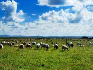 绿色草原上的羊群图片壁纸