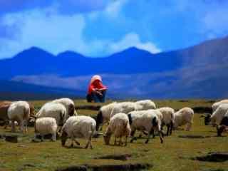 大草原上的羊群图片壁纸