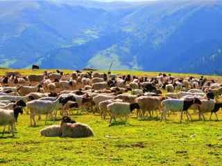 青青草原上的羊群图片壁纸