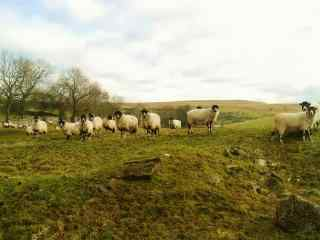 秋日草原上的羊群图片壁纸