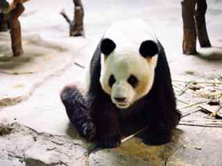 可爱大熊猫高清桌面壁纸