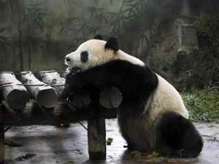 趴着小憩休息的熊