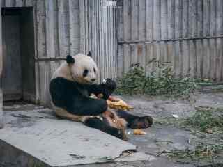 开心吃笋的大熊猫