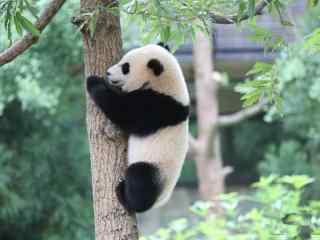 正在爬树的小熊猫桌面壁纸
