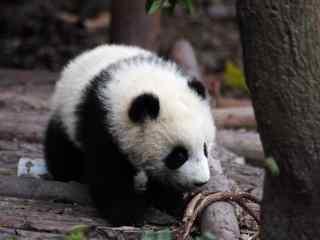 萌态十足的小熊猫