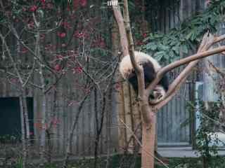 在树上打滚的熊猫