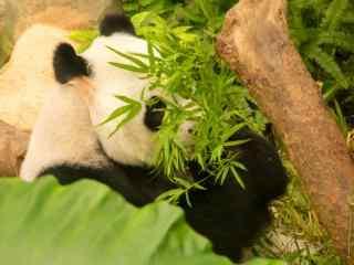 躲在树下面吃竹子熊猫桌面壁纸