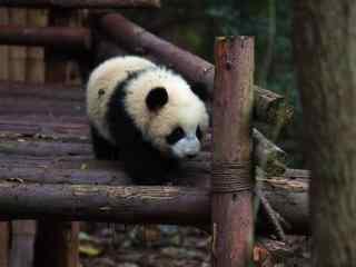 竹桥上玩耍的熊猫桌面壁纸