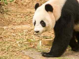 威武雄壮的大熊猫桌面壁纸