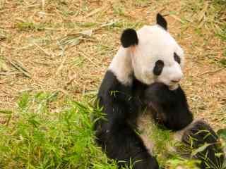 坐在草坪上傻愣愣熊猫桌面壁纸