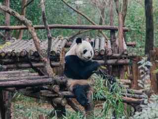 悠闲自在吃竹子的大熊猫桌面壁纸