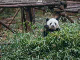 开心吃竹子的熊猫