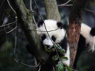 可爱呆萌的小熊猫
