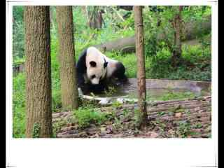 可爱大熊猫水中嬉戏桌面壁纸