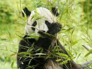 熊猫躲在竹林后面