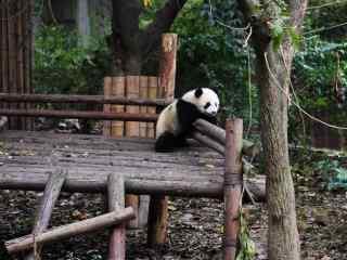 正在玩耍的大熊猫