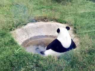 悠闲自在的大熊猫桌面壁纸