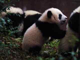 一群可爱的熊猫仔