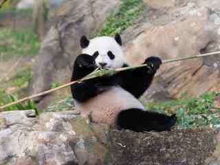 吃着竹子的大熊猫桌面壁纸